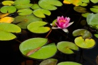Sweet Waterlily