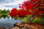 Life of the Red Maple